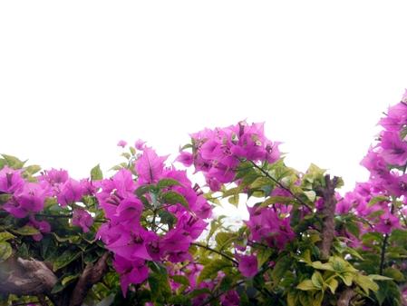 近所に咲くブーゲンビリアです(変換後))