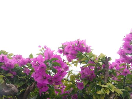 近所に咲くブーゲンビリアです(変換前)